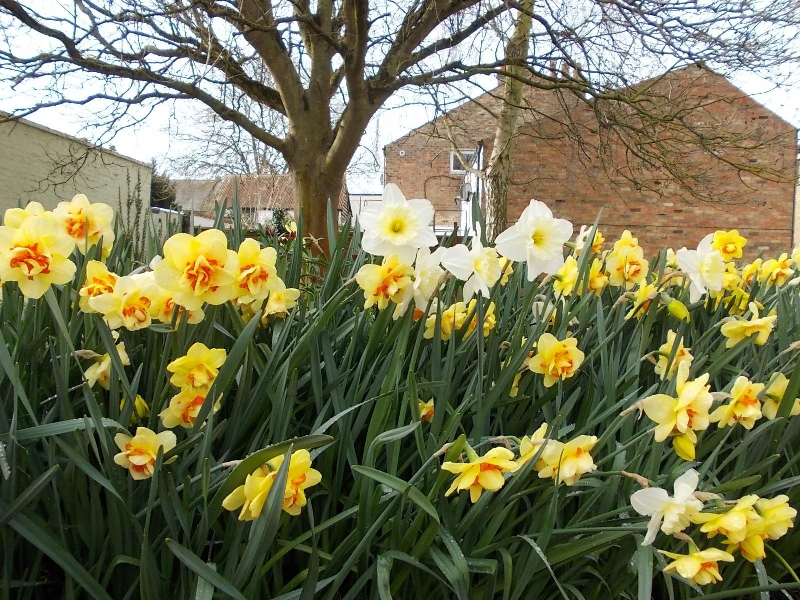 Daffodils Photo Large